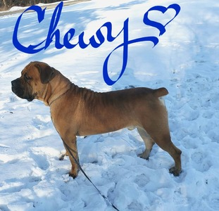 Chewy @ 18 months old and 151lbs